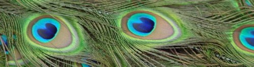 peacock cropped
